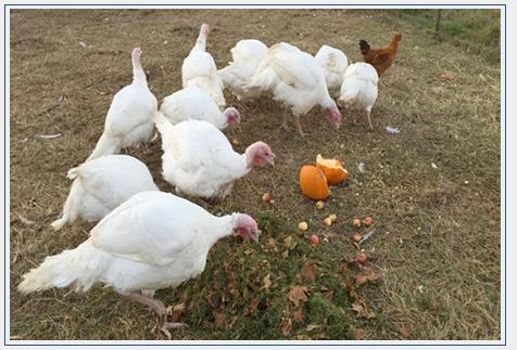 Pasture Raised Turkey at Bluebird Trail Farm