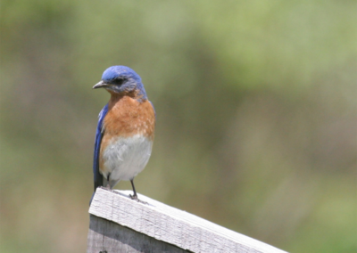 gallery-bluebird1
