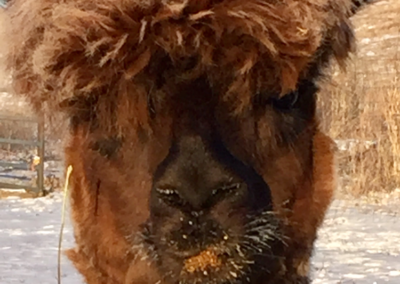 single-alpaca