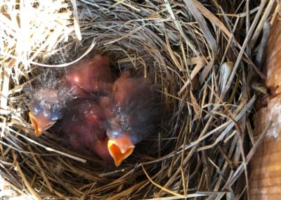 baby-birds