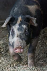 pig-bluebird-trail-farm